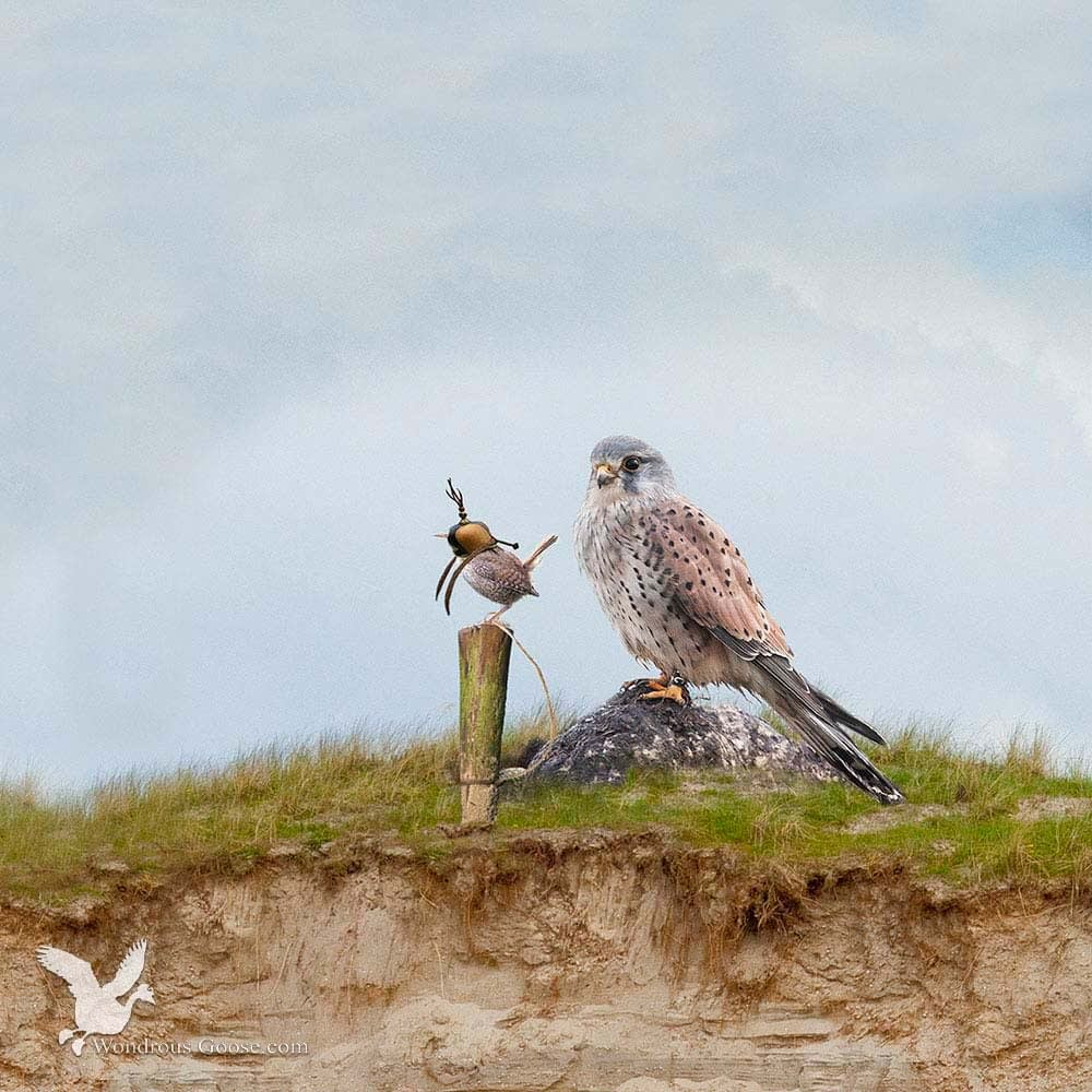 Falconry for starters-Limited Prints