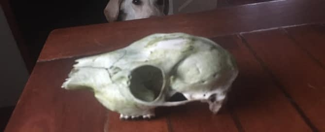 Valantino and the skull